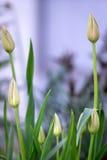 Ongeopende knoppen van tulpen Stock Foto's