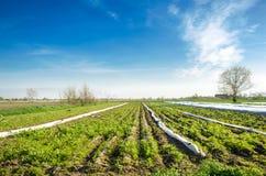 Ongepaste zorg van het gewas Groeiende Groenten Onkruid en gras in aanplantingen De jonge wortel groeit in onkruid Slechte landbo stock afbeelding