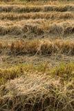 Ongepelde rijst Het heeft een mild nootachtig aroma, is taaier en voedzamer dan witte rijst Stock Afbeelding