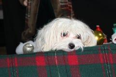 Ongerust gemaakt Puppy Royalty-vrije Stock Foto
