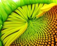Ongeveer aan volledige bloei stock foto