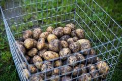 Ongewassen aardappels Royalty-vrije Stock Foto