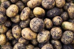 Ongewassen aardappels Royalty-vrije Stock Fotografie
