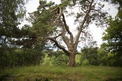 Onhandige boom. Stock Afbeeldingen