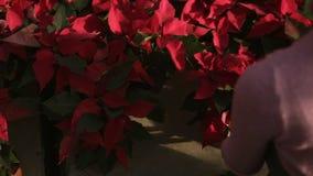 Onherkenbare vrouwelijke bloemist in schort die en bloempot met rode poinsettia op de plank onderzoeken schikken Jonge Vrouw 15 stock videobeelden