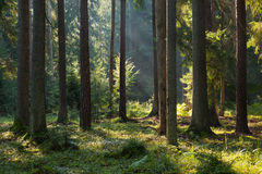 Oniferous stand of Bialowieza Forest in morning Royalty Free Stock Photography
