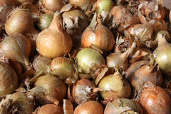 Onion. Background possible to use for printing and project Stock Photography