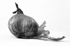 Onion. Black and white image of onion Stock Photography