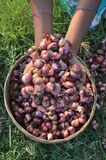 Onion. Farmer hands show a onion Royalty Free Stock Images