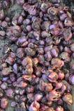 Onion. Fresh onion on farmer land Royalty Free Stock Image