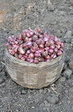 Onion. Fresh onion on farmer land in bamboo basket Royalty Free Stock Photography