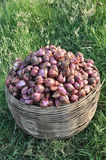 Onion. Fresh onion on grass land in bamboo basket Royalty Free Stock Photography