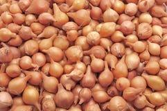 Onion Stock Image