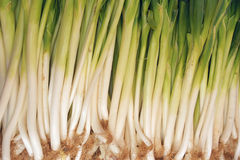 Onion. The background of green Chinese onion royalty free stock photo