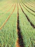 Onion. Farm In New Zealand royalty free stock photo