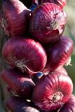 Onion Royalty Free Stock Images