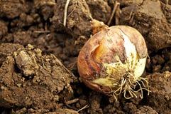 Onion on acre Stock Photo