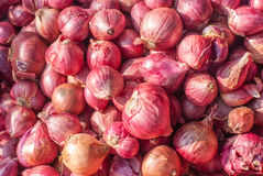 Onion or Allium cepa Stock Photos
