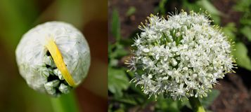 A before and after view of an onion flower breaking out of its sheath. royalty free stock image