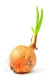 Onion (Allium cepa) Royalty Free Stock Image