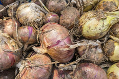 Onion Assortment Stock Image