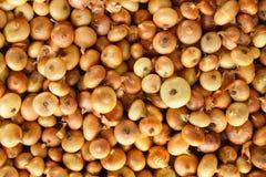 Onion background Stock Image