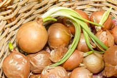 Onion in the basket Royalty Free Stock Images