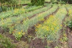 Onion bed width marigold flowers, green garden. Piirissaar, Estonia, Europe royalty free stock photo