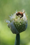 Onion Bud with a bee Royalty Free Stock Photos