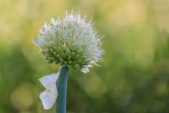 Onion Bud 2 Stock Image