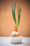 Onion bulb with chives fresh green sprout Stock Images