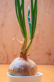 Onion bulb with chives fresh green sprout Stock Photography