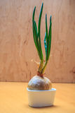 Onion bulb with chives fresh green sprout Royalty Free Stock Photos