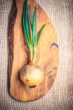 Onion bulb with chives fresh green sprout Stock Image