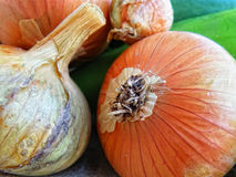 Onion bulb detail. Autumnal harvest. Royalty Free Stock Images