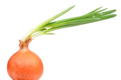 Onion Bulb with Green Sprouts Stock Photos