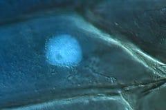 Onion bulb scale epidermis. Cell wall, nucleus, and organelles of onion bulb scale epidermis cells stock photos