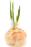 Onion Bulb Sprouting Stock Images