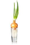 Onion bulb with sprouts Royalty Free Stock Image