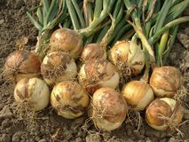 Onion bulbs. Some onion bulbs with tops on the ground Stock Photo