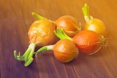 Onion bulbs with fresh green sprouts. Onion with fresh green sprout Stock Images