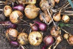 Onion bulbs growing on the field Royalty Free Stock Photos