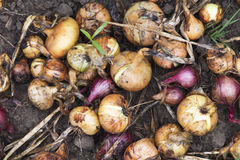 Onion bulbs growing on the field Royalty Free Stock Image