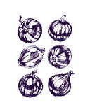 Onion bulbs illustration Stock Photos