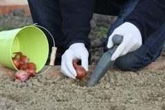 Onion bulbs planting Stock Photo