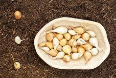 Onion bulbs for planting. Yellow and white onion for planting -  small bulbs in a  rustic wood bowl and some planted in garden soil Stock Image