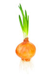 Sprouted onion Stock Photos