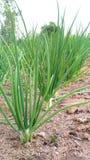 Onion cecidomyiidae Royalty Free Stock Photo