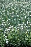 Onion Crop Stock Photo