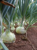 Onion crop. Onion production in intensive system Royalty Free Stock Photos
